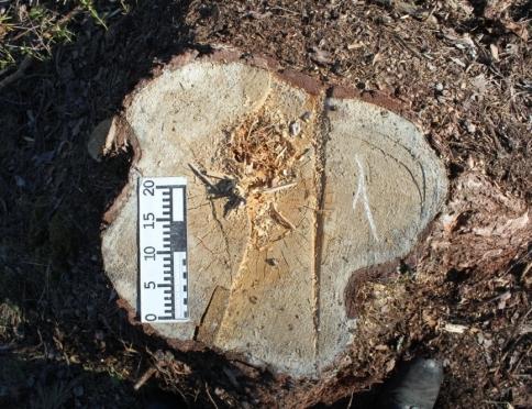 На счету черных лесорубов 84 дерева
