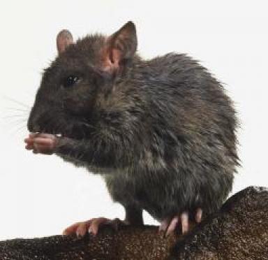 Два жителя Марий Эл заразились мышиной лихорадкой, побывав на шашлыках