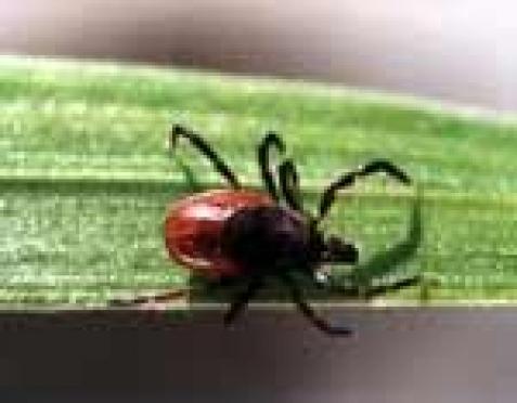 В Марий Эл регистрируются единичные случаи укусов клещей