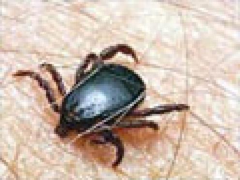 В Марий Эл зарегистрированы первые случаи клещевого боррелиоза