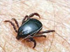 В Марий Эл каждый третий клещ может заразить боррелиозом, каждый 13 – энцефалитом