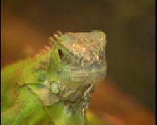 Можно ли в Йошкар-Оле купить настоящего крокодила?