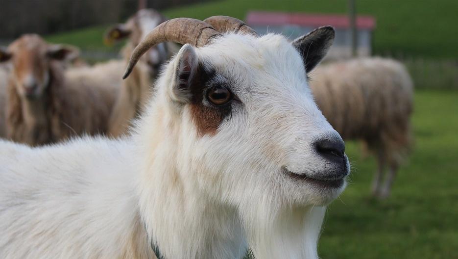 Открытки, прикольные картинки коз и овец
