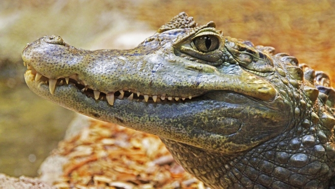 Московского крокодила Диму готовы приютить в Ульяновске