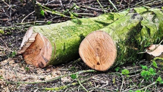 В Советском районе незаконно вырубили деревья на полмиллиона рублей