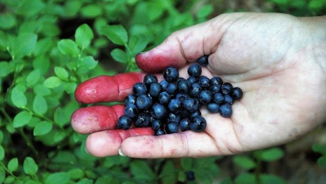 Двое жителей Марий Эл заразились мышиной лихорадкой при сборе ягод