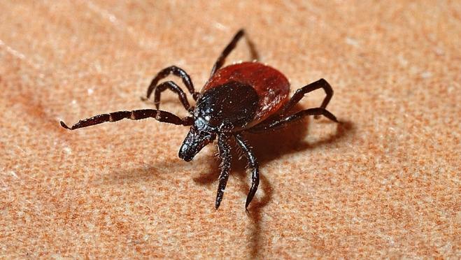 В последние дни августа от укусов клещей пострадали больше 40 мариэльцев