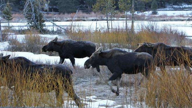 В Марий Эл установили сроки подачи заявок на добычу лосей и медведей