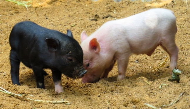 Новогоднее свинство: стоит ли заводить дома символ года?