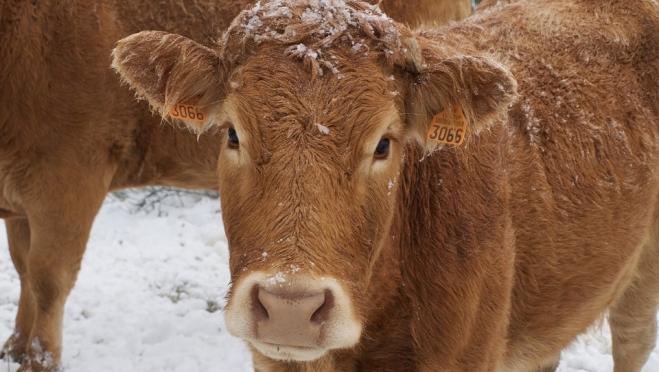 В Марий Эл домашний скот прививают от бешенства и сибирской язвы