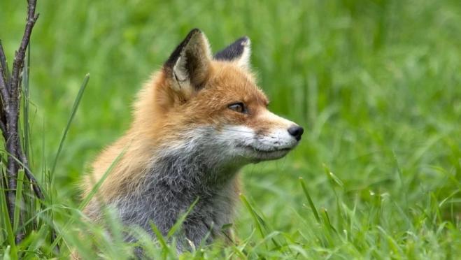 В Марий Эл проводят дополнительную иммунизацию диких животных против бешенства