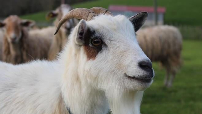 По сравнению с прошлым годом поголовье овец и коз в Марий Эл выросло на 41%