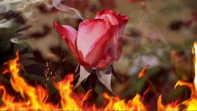 Кенийские розы погибли в Нижегородской области