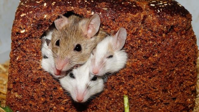 В Марий Эл в мае 10 человек заболели «мышиной лихорадкой»