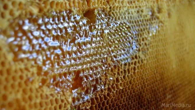 Развитие бортничества в Марий Эл или как бороться с «липовым» мёдом