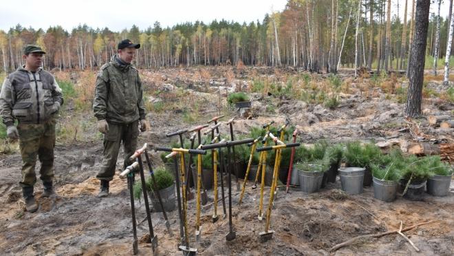 В Куярском лесничестве высадили более 30 тысяч сеянцев сосны