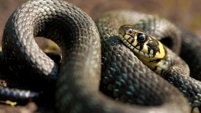 В Башкирии ядовитая змея попала в квартиру в ведре с картошкой