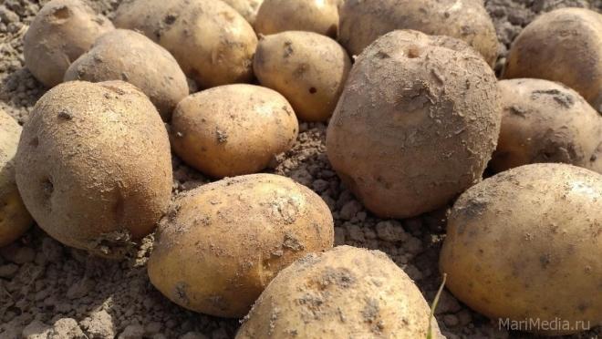Какой картошкой можно отравиться