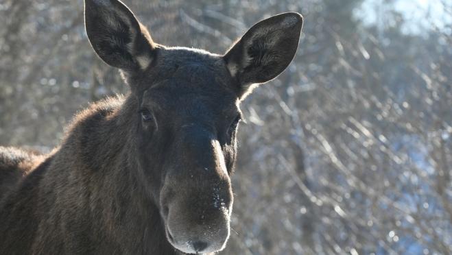 В Нижегородской области, лосёнка провалившегося под лёд, вернули в лес