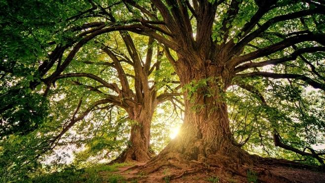 Жители Марий Эл могут принять участие в выборе главного дерева России