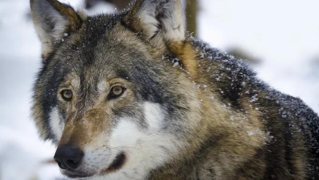 В Марий Эл за сезон добыли 15 волков