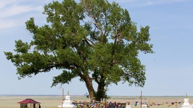 Главным деревом страны 2019 года стал «Одинокий тополь» из Калмыкии