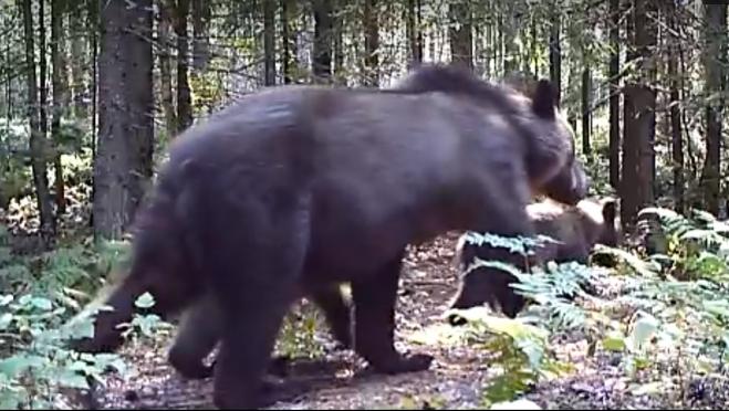 В Марий Эл в фотоловушки заповедника попались семьи медведей и кабанов